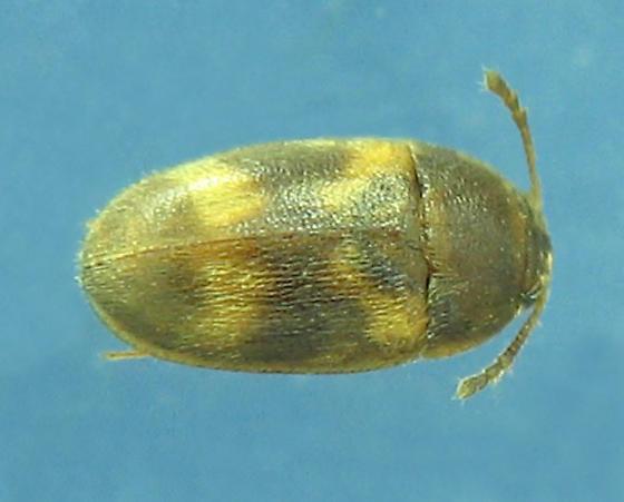 tiny spotted Hairy Fungus Beetle - Litargus balteatus