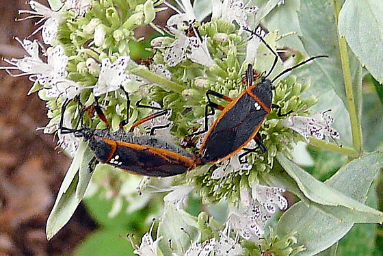 Mystery Bug - Largus - male - female