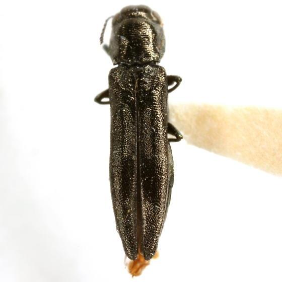 Agrilus taeniatus Chevrolat - Agrilus taeniatus