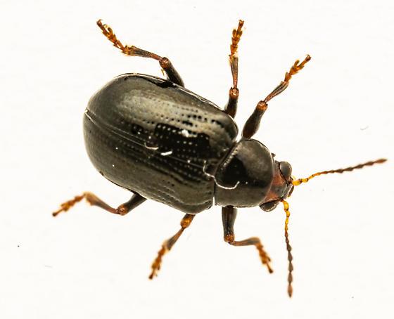 Small beetle - Paria