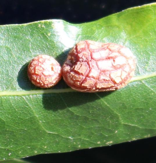 Willow Oak gall
