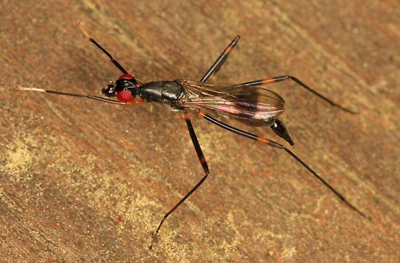 Stilt-legged Fly - Rainieria antennaepes? - Rainieria antennaepes