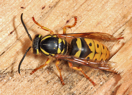 Yellowjacket queen - Vespula flavopilosa - female