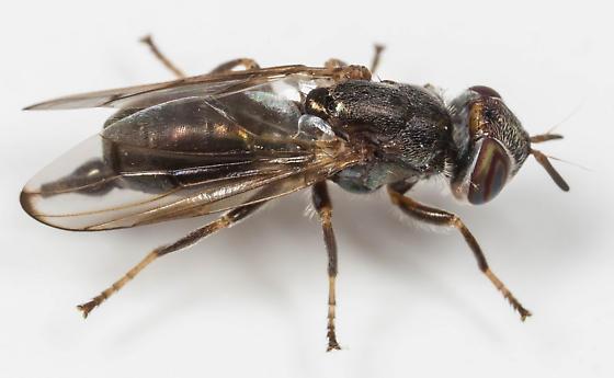 Senopterina foxleei - female