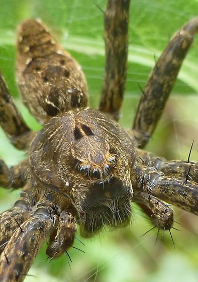 nursery web spider? - Dolomedes vittatus - female