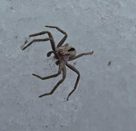 Wolf spider? - Thanatus - male