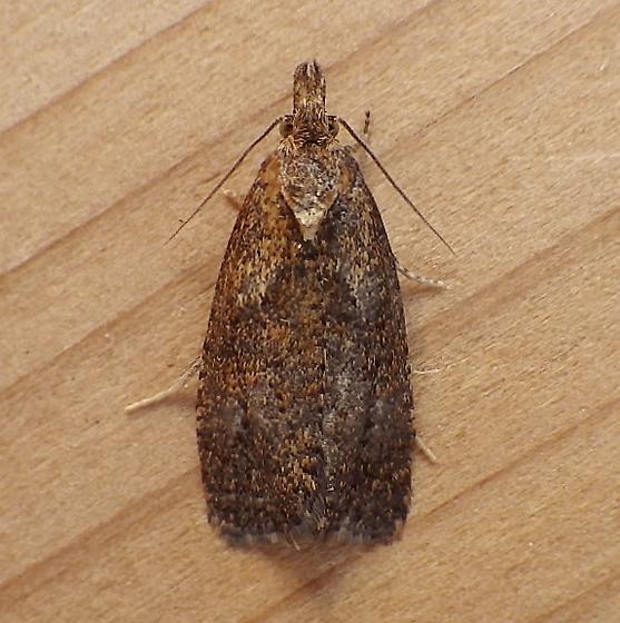 Tortricidae: Phtheochroa riscana? - Phtheochroa
