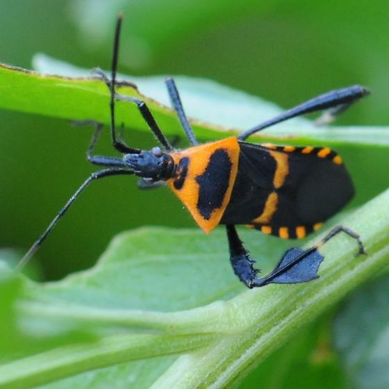 Leaf-Footed Bug - Leptoglossus ashmeadi