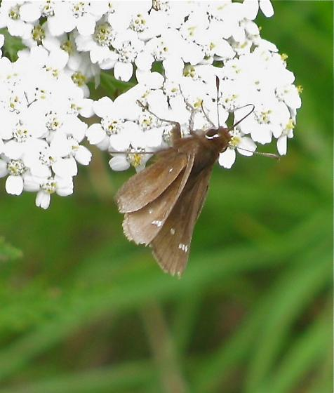Unknown brown butterfly - Atrytonopsis hianna