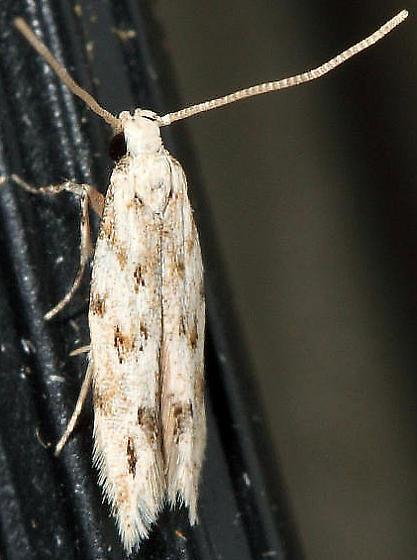 moth - Coleotechnites - male