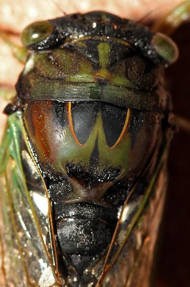 Tibicen tibicen australis - Neotibicen tibicen