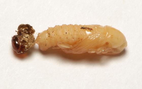 Curculionidae, pupa, ventral dorsal - Rhodobaenus tredecimpunctatus