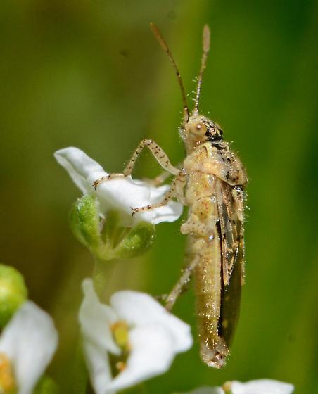 Scentless plant bug - Brachycarenus tigrinus? - Brachycarenus tigrinus