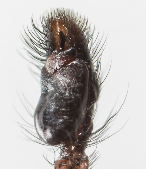 Paraphidippus aurantius - male