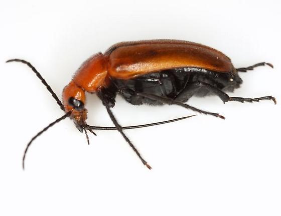Nemognatha (Nemognatha) piazata bicolor LeConte - Nemognatha piazata