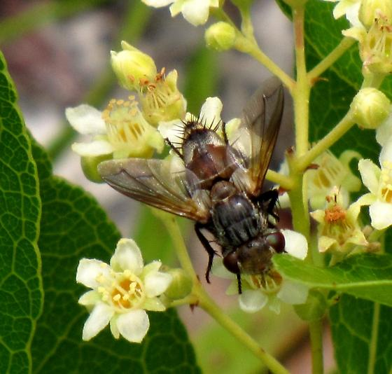 Tachinid Fly?  ID wanted. - Gonia crassicornis