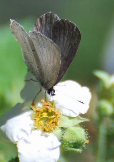 Butterfly Species - Celastrina echo