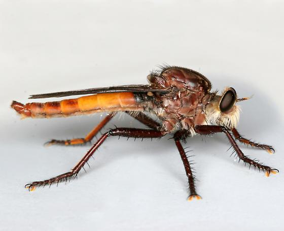BG1320 C9276 - Proctacanthus rufus - male