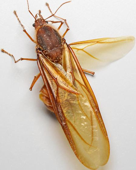 alate (winged) ant - Atta texana