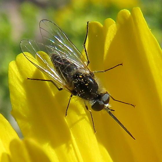 Apolysis sp. - Nye Co., Nevada - Apolysis - male