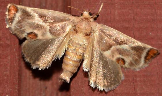 Orange-tipped moth - Apoda biguttata