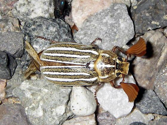 Ten-Lined June Beetle? - Polyphylla decemlineata