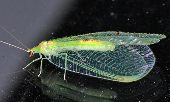 Green Lacewing - Leucochrysa insularis
