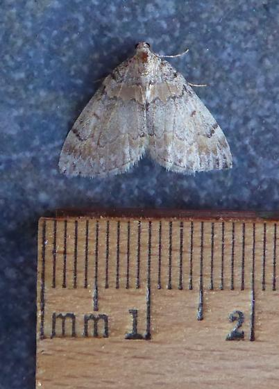 Moth - Dysstroma brunneata