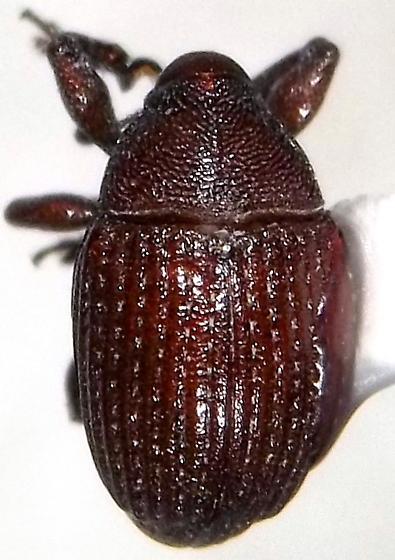 Rhyssomatus parvulus Casey - Rhyssomatus parvulus