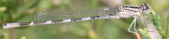 Enallagma carunculatum? 2  - Enallagma carunculatum - male