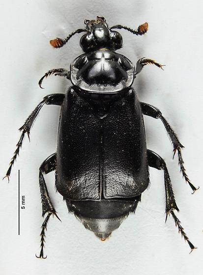 Yet another Black Silphid - Nicrophorus nigrita