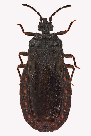 Flat bug - Aneurus inconstans - female