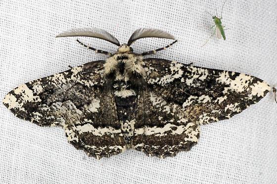 Black and White Moth - Phaeoura quernaria - male