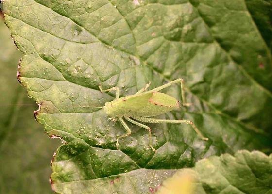 What kind of Katydid?  - Microcentrum rhombifolium
