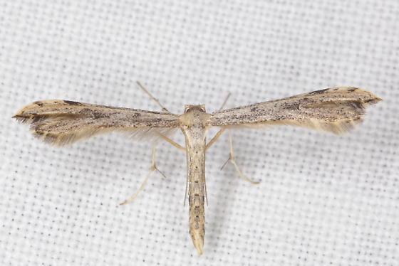 Plume Moth - Adaina ambrosiae