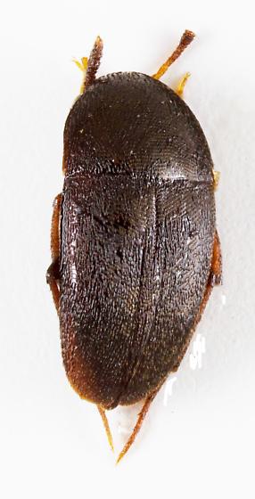 Small Carrion Beetle - Ptomaphagus