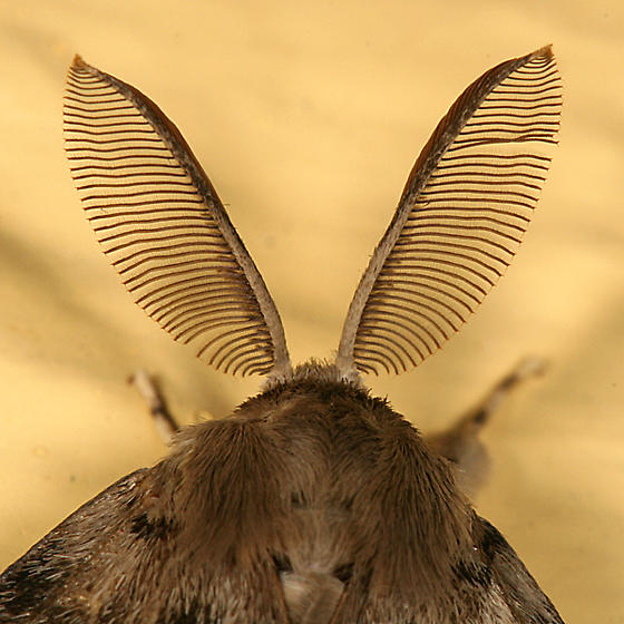 Gypsy Moth antennae - Lymantria dispar - male