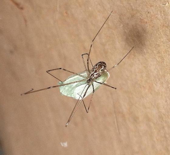 Mystery spider - Holocnemus pluchei