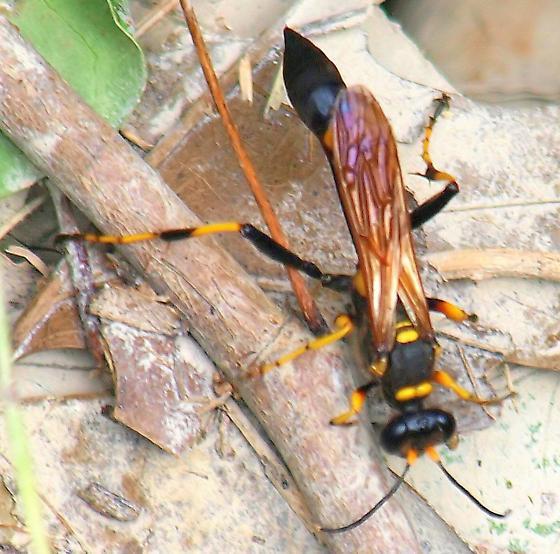 Need gender for this Black And Yellow Mud Dauber (Sceliphron caementarium) View 2 - Sceliphron caementarium - female