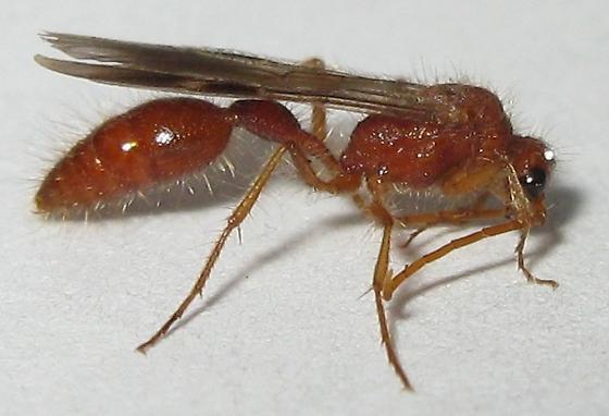 Bradynobaenid Wasp? - Chyphotes