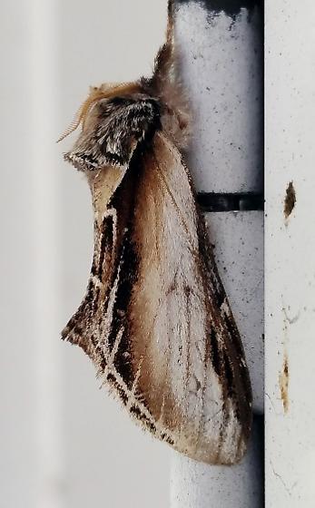 Black-rimmed Prominent - Pheosia rimosa