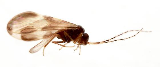 barklice - Polypsocus corruptus - male