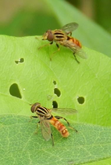Syrphid flies - Lejops
