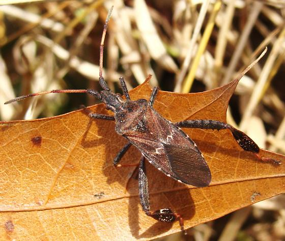 Leaf Pine Leaf-footed Pine Seed Bug