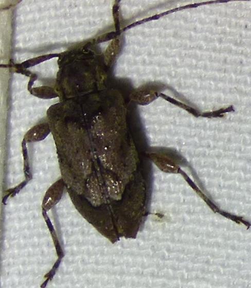 Leptostylopsis planidorsus - Astylopsis arcuata