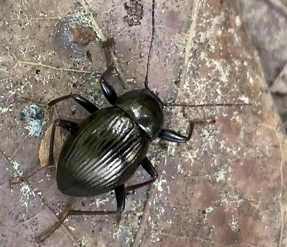 unidentified beetle - Meracantha contracta