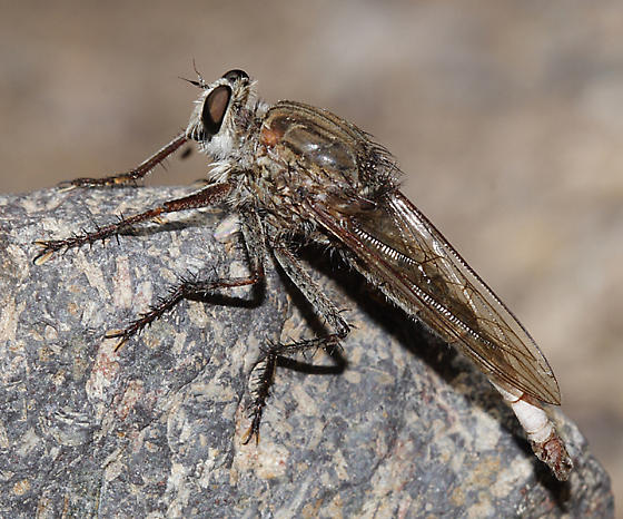 Robber fly - Proctacanthus - Proctacanthus micans
