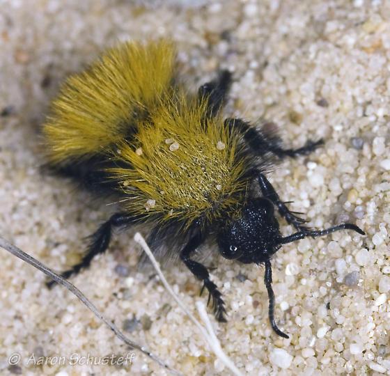 Velvet ant after dusk from Kelso Dunes - Dasymutilla nocturna - female