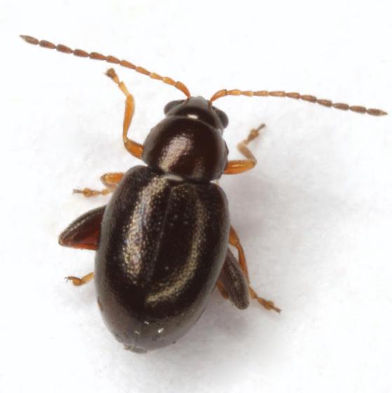 Longitarsus
