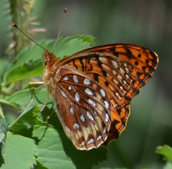 Speyeria aphrodite or S. atlantis? - Speyeria hesperis